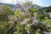 ゴールデンウィーク中は藤の花が見ごろです
