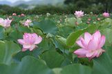 池一面に広がる2種類の鮮やかなハスの花