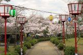 鯉のぼり・桜
